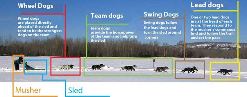 Sled Dogs, Teaming Up ...